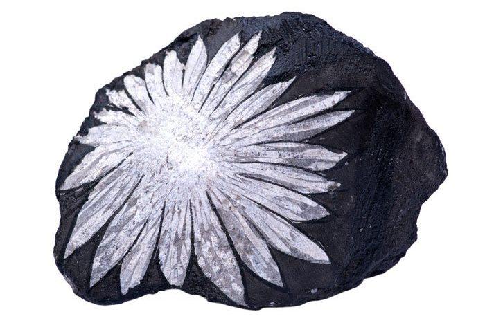 pierre chrysantheme