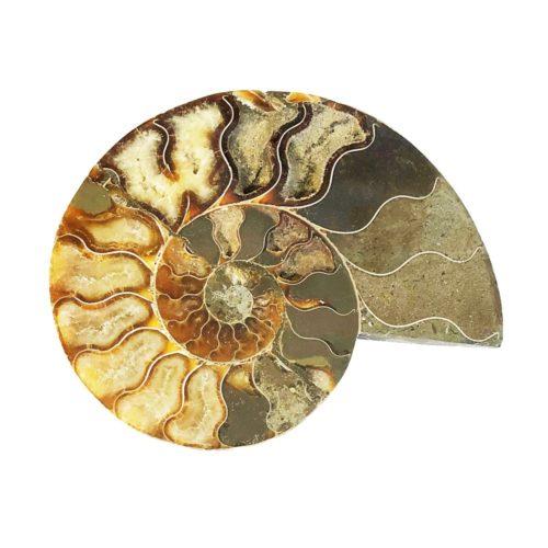 paire d'ammonite